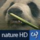 Nature HD | Panda Bear - VideoHive Item for Sale