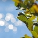 Leaves of the Tree on a Background Bokeh - VideoHive Item for Sale