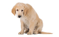 Miserable Golden Retriever puppy sitting front view isolated on white background - PhotoDune Item for Sale