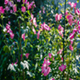 Pink Flowers in a Garden - VideoHive Item for Sale