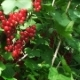 The Garden Among Green Leaves Sway In The Wind Clusters Of Bright Red Currants - VideoHive Item for Sale