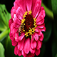 Bee Gathering Pollen On Red Flower - VideoHive Item for Sale
