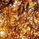 Autumn Leaves on the Oak Trees - VideoHive Item for Sale