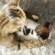 Cat takes care of her Kitten (Pet Motherhood) - VideoHive Item for Sale