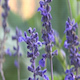 Lavender Blowing in the Breeze - VideoHive Item for Sale