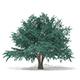 Blue Atlas Cedar (Cedrus atlantica) 13.2m - 3DOcean Item for Sale