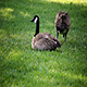 Canadian Geese Sitting And Feeding On Green Grass Lawn - VideoHive Item for Sale