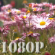 Pink Daisy Flowers - VideoHive Item for Sale