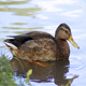 Wild Duck Swims In the Pond - VideoHive Item for Sale