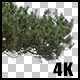 Real Black Pine Tree Branch with Alpha Channel - VideoHive Item for Sale