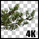 Real Black Pine Tree Close Up Branch with Alpha Channel - VideoHive Item for Sale
