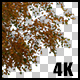 Real Birch Autumn Tree with Alpha Channel - VideoHive Item for Sale