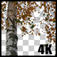 Real Birch Autumn Tree Branch with Alpha Channel - VideoHive Item for Sale