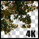Real Oak Autumn Tree with Alpha Channel - VideoHive Item for Sale
