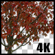 Real Acer Autumn Tree with Alpha Channel - VideoHive Item for Sale
