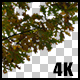 Real Oak Autumn Tree Close Up Branch with Alpha Channel - VideoHive Item for Sale