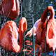 Flamingos Preening Standing In Water With Green Reeds - VideoHive Item for Sale