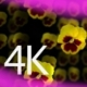 Pansies - VideoHive Item for Sale