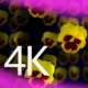 Pansies 1 - VideoHive Item for Sale