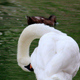 Preening Swans 7 - VideoHive Item for Sale