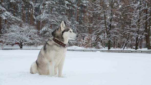 Siberian Husky Sitting and Looking Around.