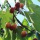 Branch of Ripe Cherries - VideoHive Item for Sale