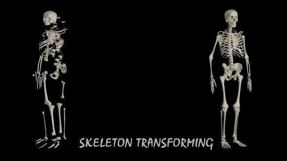 Human Skeleton Transforming - 2