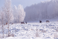 Horses stay and relax in the snowy woods in winter - PhotoDune Item for Sale