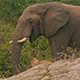 African Elephant Feeding and Walking Off - VideoHive Item for Sale