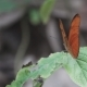 Orange Butterfly Opens Wings and Starts Flying in - VideoHive Item for Sale