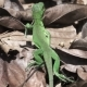Green Lizard Walking in Super - VideoHive Item for Sale