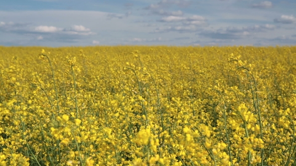 Rapeseed Field Under a Blue Sky with Clouds