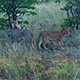 Lions in The Dawn III - VideoHive Item for Sale