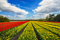 Wonderful tulips by springtime. Keukenhof Gardens. - PhotoDune Item for Sale