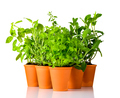 Green Herbs Growing in Pottery Pots on White Background - PhotoDune Item for Sale