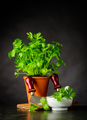 Fresh Parsley Growing in Pot with Mezzaluna in Stil Life - PhotoDune Item for Sale