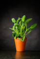 Sage Plant Growing in Pot - PhotoDune Item for Sale