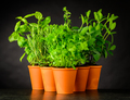 Culinary Herbs in Pottery Pots on Dark Background - PhotoDune Item for Sale