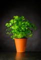 Parsley Growing in a Pottery Pot - PhotoDune Item for Sale