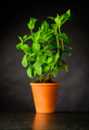 Mint Plant in Pottery Pot - PhotoDune Item for Sale