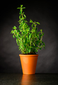 Oregon Growing in a Pottery Pot - PhotoDune Item for Sale