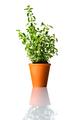 Green Oregano Plant in Pot - PhotoDune Item for Sale