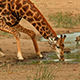 Thirsty Giraffe by a Watering Hole – Variation I - VideoHive Item for Sale