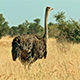 Ostriches in the Plains - VideoHive Item for Sale
