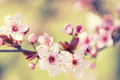 Branches of cherry blossoms - PhotoDune Item for Sale