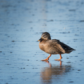 Small speckled duck walking on ice - PhotoDune Item for Sale