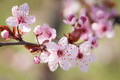 Blooming plum tree. - PhotoDune Item for Sale