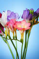 Flowers of freesia on a blue background - PhotoDune Item for Sale