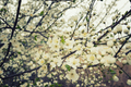 Flowering plum branches - PhotoDune Item for Sale