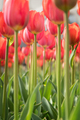 Lovely red tulips in green foliage - PhotoDune Item for Sale